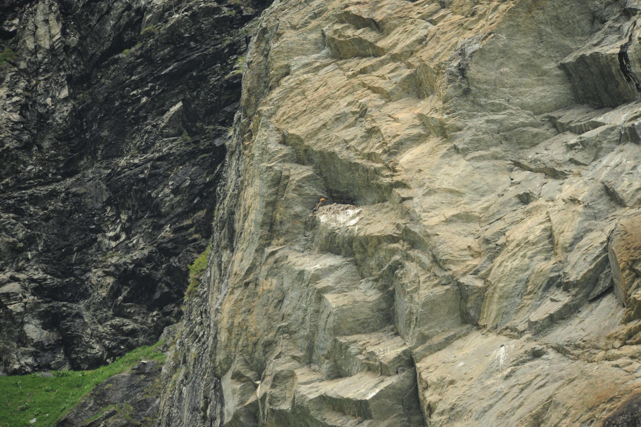 Le nid du couple de gypaète barbu de Peisey-Nancroix était installé dans le creux d'une falaise