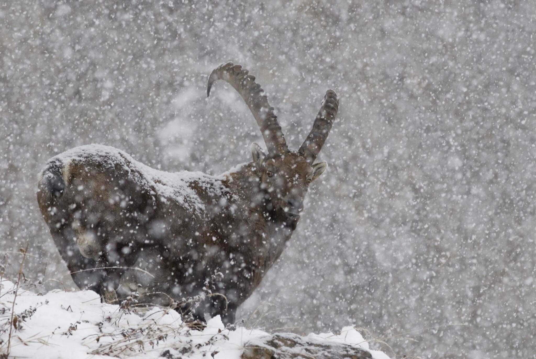 Le bouquetin des Alpes, un animal peu farouche que l'on peut facilement observer dans les Fiz©Franck Miramand