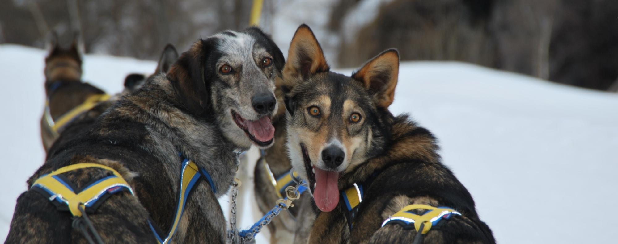 Des chiens issus de croisemements pour aller plus vite ! ©Le trappeur