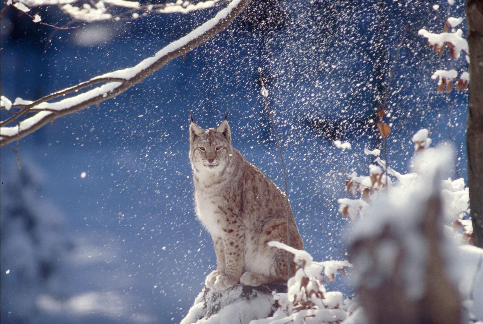 le lynx boréal, un habitant des forêts de montagne solitaire et très discret ©Roger Leguen/WWF Régional