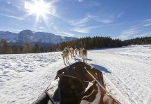 chiens de traineaux chamrousse