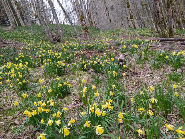 jonquilles sauvages chartreuse